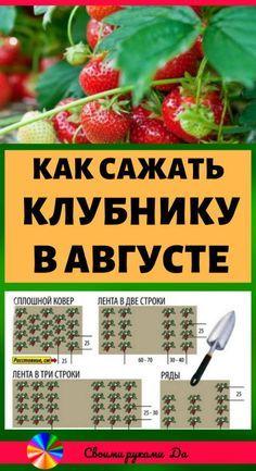 Как сажать клубнику в августе, чтобы не беспокоиться об урожае в следующем году. Огород и дача своими руками #советы #клубника #огород #дача
