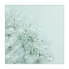 Dandelion Diamonds - Alyson Fennell Photography