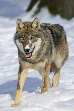 Picture by Jürgen Borris - The world of wolves