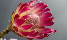 Bring tropical beauty to any event with our protea pincushion flowers! At wholesale pricing, our vibrant protea plants for sale can be bought in bulk. Flor Protea, Protea Flower, Protea Art, Protea Bouquet, Tropical Flowers, Colorful Flowers, Pink Flowers, Beautiful Flowers, Flower Meanings