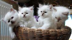Chatterie, élevage Sacrés de Birmanie: nos chatons