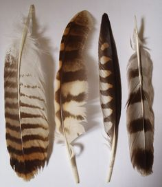 L-R Buzzard tail feather, Tawny owl primary wing, kestrel primary and sparrowhawk tail.