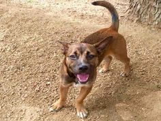 ~~TIME'S UP!!~~HONEY - ID#A454804  I am ready to go!  My name is HONEY  I am a spayed female, brown and black Welsh Corgi - Cardigan mix.  The shelter staff think I am about 1 year and 2 months old.  I have been at the shelter since Mar 16, 2016.  This information was refreshed 11 minutes ago and may not represent all of the animals at the Harris County Public Health and Environmental Services.