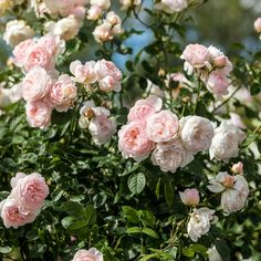 Beautiful blooms with a strong, classic myrrh fragrance. Buy Gentle Hermione from David Austin with a 5 year guarantee and expert aftercare. Gray Gardens, Every Rose, Shrub Roses, David Austin Roses, Growing Roses, Colorful Garden, Hermione, Flower Beds, Dream Garden