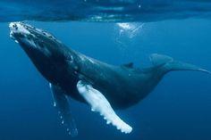 VIDEO: Captan de frente impresionante salto de ballena en Canadá [Animales asombrosos] - 01/09/2015 | Periódico Zócalo