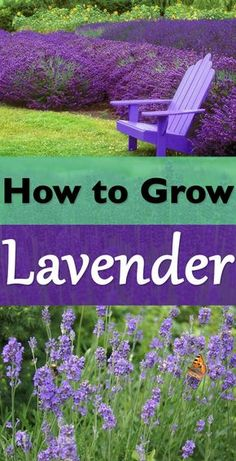 Everything About Growing Lavender - The robust smell and diverse shades of purple, blue, soft pink and white flowers, learn everything you need to know for growing lavender!