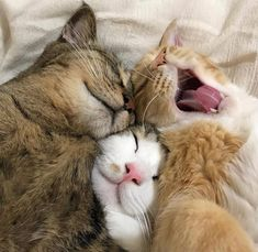 Pin by Rochelle Jackson on Forever Cats Kittens Cutest, Cats And Kittens, Cute Cats, Funny Cats, Animals And Pets, Baby Animals, Funny Animals, Cute Animals, Pretty Cats