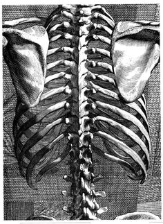 Rib Cage, back, Bernard Siegfried Albinus    As my Alexander teacher asked me yesterday--where is the joint or hinge to bend my back?  The spine works as a whole.