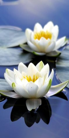 Flora white flowers close up bloom water lily 10802160 wallpaper Most Beautiful Flowers, Exotic Flowers, Pretty Flowers, White Lotus Flower, White Flowers, Lotus Flowers, Bouquet Flowers, Flora Flowers, Flowers Wallpaper