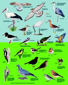 Bird Types, Kinds Of Birds, Animals For Kids, Cute Animals, Bird Identification, Garden Deco, Bird Theme, Wild Creatures, Animal Posters