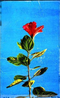 Tall Hibiscus - Flower Art By Sharon Cummings by Sharon Cummings
