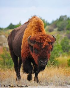 American Bison Bull by Scottwdw. Being a Taurus this rust colored Bison attracted my attention. Beautiful Creatures, Animals Beautiful, Cute Animals, Colorful Animals, Wild Life, Wildlife Photography, Animal Photography, Photo Animaliere, American Bison