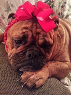 Its hard being a beautiful bulldog...Vivienne Lee ♥
