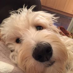Having a snuggle ! Baby Puppies, Cute Puppies, Cute Dogs, Dogs And Puppies, Doggies, Australian Labradoodle, Doodle Dog, Labradoodles, Goldendoodles