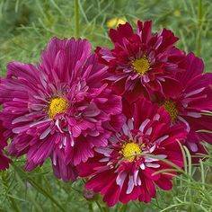 Cosmos 'Double Click Cranberries' range from dark pink to dark red.