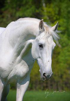 White Horse - Orlov trotter - Abrek