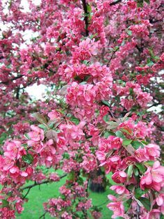 10 Best Flowering Trees and Shrubs for Adding Color to Your Yard Japanese Maple Tree Varieties, Japanese Tree, Japanese Pagoda, Trees And Shrubs, Flowering Trees, Pagoda Dogwood, Golden Chain Tree, Fringe Tree, Fast Growing Trees