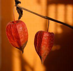 Orange cape gooseberries