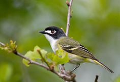 And check out this sweet little endangered songbird! Support the Devils River Conservancy to help protect this lil' guy :) Google Image Result for http://www.greglasley.net/images/BL/Black-capped-Vireo-0009mod.jpg