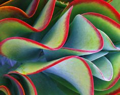 This succulent reminds me of coral in the Bahamian waters.