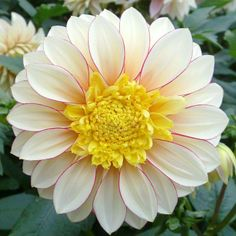 Dahlia Tubers (Anemone-Flowered) - Polka - Bag of Red, Eden Brothers Room With Plants, Large Plants, Anemone Flower, Cactus Flower, Bulb Flowers, Beautiful Flowers, Fresh Flowers, Exotic Flowers, Purple Flowers