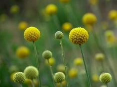Craspedia globosa 'Billy Buttons' Flower Care, Plants, Purple Garden, Beautiful Flowers, Cottage Garden Plants, Craspedia, Flowers Nature, Trees To Plant, Australian Native Flowers