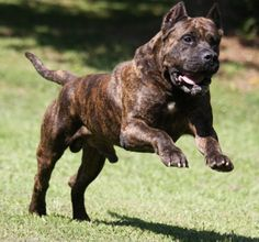 D&G Kennels Presa Canario puppies and trained adults available for sale. Cane Corso Kennel, Cane Corso Mastiff, Cane Corso Puppies, Cane Corso Dog, Mastiff Breeds, Mastiff Dogs, Dog Breeds, Big Dogs, Large Dogs