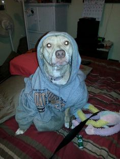 Hoodie weather! My pit bull is oh so stylish!
