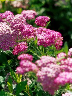 'Cerise Queen' yarrow  Achillea millefolium 'Cerise Queen' produces pretty, magenta-pink blooms in late spring to early summer that hover over fernlike green foliage. Zones 3-9