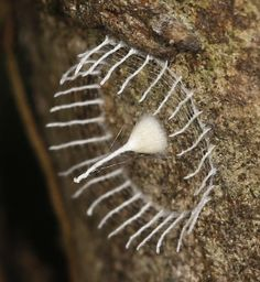 Some moths build a fence around their cocoons. Does anyone have any idea what this is or what insect it belongs to?