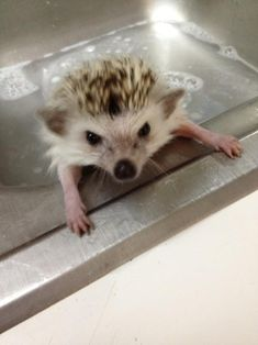 #baby #hedgehog - I will not forget this! I wish we had bought one when we had the chance!!