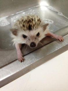 Baby hedgehog bath