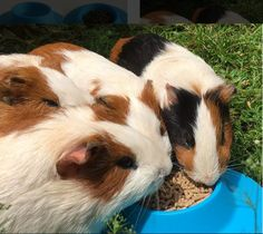 Feeling crowded at mealtime? STAYbowl holds 1/4 cup of kibble and is just right for 1 or 2 guinea pigs. Order your favorite colors at http://www.mystaybowl.com/products/staybowl-tip-proof-bowl-for-guinea-pigs-and-small-pets