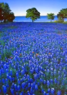 Texas Bluebonnets Victoria Amazing Places is part of Texas bluebonnets - Beautiful World, Beautiful Places, Beautiful Pictures, Amazing Places, Landscape Photography, Nature Photography, Photography Tips, Texas Bluebonnets, Blue Bonnets