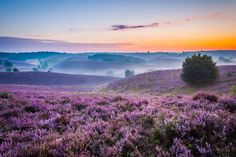 "https://flic.kr/p/DaBTks | Sea of purple, Posbank The Netherlands | Follow me on: 500px | Pinterest | Twitter  Press ""L"" for view on black!  Once again a photo of one of my favourite areas of The Netherlands: the Posbank.  The combination of the beautiful blossoming purple heath, some of the few hills (mountains according to Dutch standards!) in the Netherlands and a foggy sunrise, create the recipe and circumstances for shooting some nice photos. Here is one of my attempts to capt..."