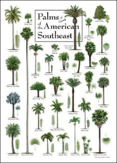 Palms And Cycads Of The American Southeast Palm Trees Garden Tree Plant