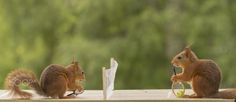 Red squirrels on a tennis court