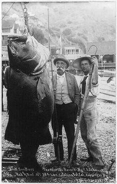 Black sea bass caught near Catalina Island, 1900. Caught with rod and reel. 384 pound world record. (PD)