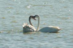 tundra swan | Tundra Swan ( Cygnus columbianus )