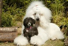 Standard and toy poodles...so cute. #poodle