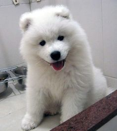 Remember when my beloved Tasha was a pup - she was such a sweetheart!  i love samoyeds