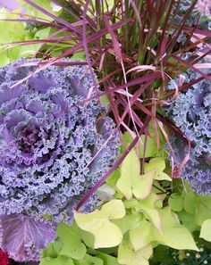 fall planter with red grass ornamental purple cabbage This amazing flowering kale has tightly fringed foliage with rose red centers and is easy to grow in the fall A beau. Fall Containers, Succulents In Containers, Ornamental Cabbage, Ornamental Grasses, Container Gardening Vegetables, Container Plants, Container Flowers, Vegetable Gardening, Autumn Garden
