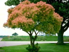 Smoke tree has unusual flowers that fade to form pink plumes resembling smoke. A tree in full smoke is stunning. Trees are drought tolerant once established and easy to transplant. The straight species grows 10 to 15 feet tall.  Why we love it:  Those pink clouds that float among leaves are beyond striking. They're like something out of a Dr. Seuss story.
