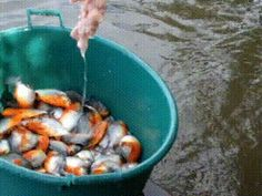 Fishing Piranhas (gif)