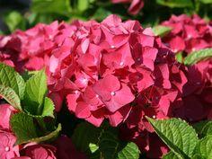 French Hydrangea 'Red Baron' (Hydrangea macrophylla)