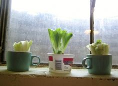 Growing Romaine Lettuce