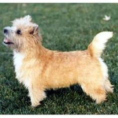 Cairn Terrier Puppies For Sale & Puppy Breed Info Cairn Terrier Puppies, Terrier Dog Breeds, Terrier Mix Dogs, Puppy Breeds, Puppies And Kitties, Puppies For Sale, Doggies, Cairns, Bluetick Coonhound