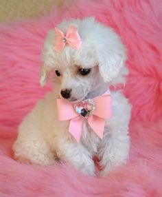 white-poodle-puppies in pink Picture from Dogs. white-poodle-puppies in pink Teacup Puppies, Cute Puppies, Cute Dogs, Dogs And Puppies, Doggies, Bulldog Puppies, Le Terrier, Baby Animals, Cute Animals