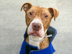 1/14/17 LISTED TO BE MURDERED TODAY!! Manhattan Center My name is ZEKE. My Animal ID # is A1100734. I am a neutered male red and white am pit bull ter mix. The shelter thinks I am about 4 YEARS old. I came in the shelter as a OWNER SUR on 12/30/2016 from NY 10469, owner surrender reason stated was COST.