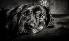Labrador Retriever, Dogs, Animals, Photos, Pictures, Labrador Retrievers, Animaux, Doggies, Animales